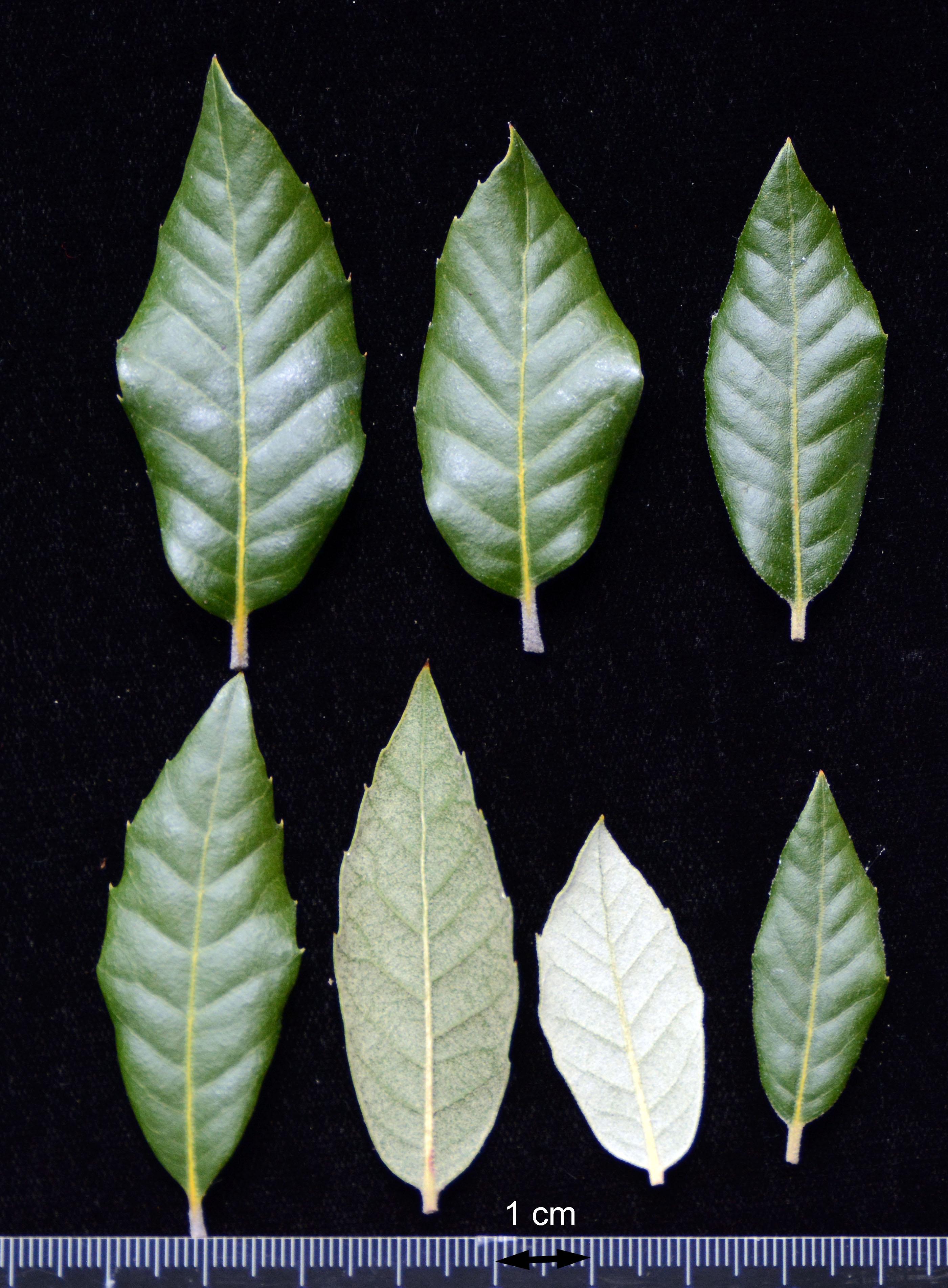 Quercus ilex | Landscape Plants | Oregon State University
