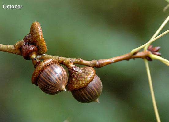Quercus Palustris Landscape Plants Oregon State University