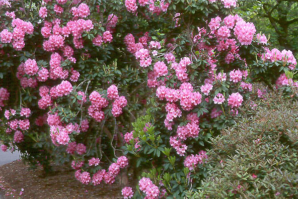 an analysis of roses rhododendron by alice adams Roses rhododendron essay examples an analysis of roses, rhododendron by alice adams 512 words 1 page an analysis of the novel roses, rhododendron by alice.