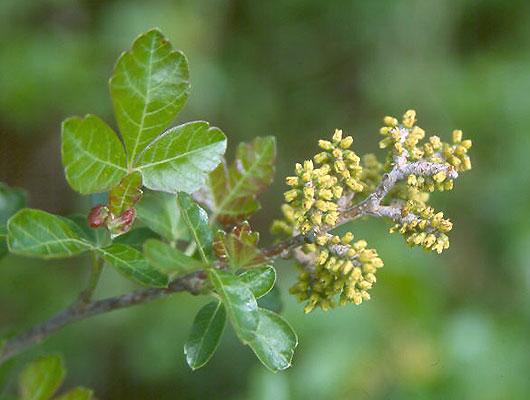 Yellow Root