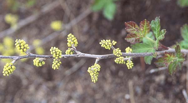Rhus Aromatica Gro Low Landscape Plants Oregon State