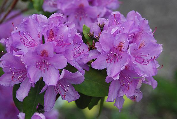 rhododendron catawbiense boursault landscape plants