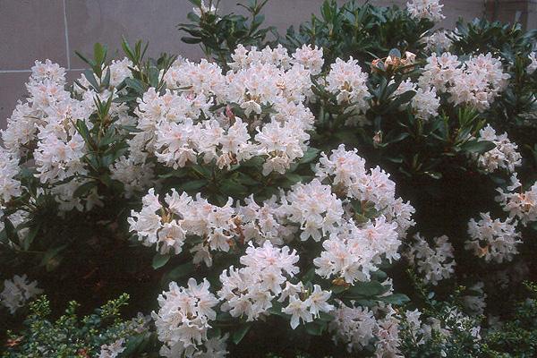 rhododendron 39 cunningham 39 s white 39 landscape plants. Black Bedroom Furniture Sets. Home Design Ideas