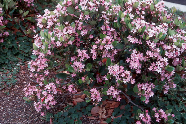 Rhaphiolepis indica 39 pink lady 39 landscape plants for Pink flowering shrubs