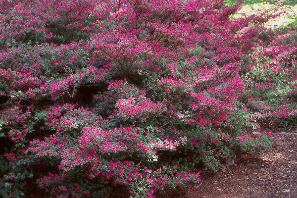 Rhododendron Kiusianum Landscape Plants Oregon State