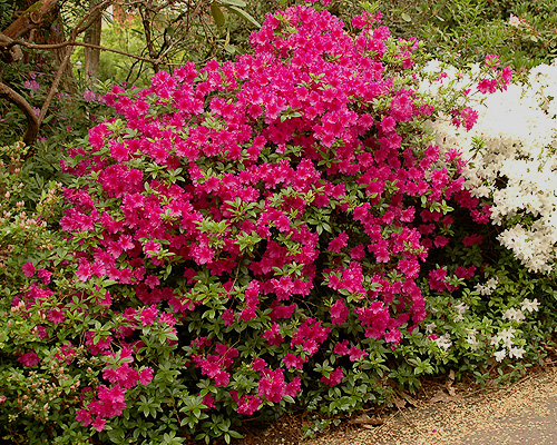 Rhododendron Purple Splendor Landscape Plants Oregon