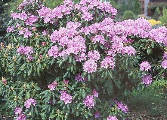 rhododendron 39 roseum elegans 39 landscape plants oregon. Black Bedroom Furniture Sets. Home Design Ideas