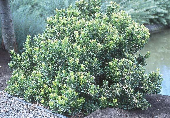 Rhaphiolepis Umbellata Minor Landscape Plants Oregon