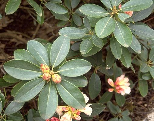 Rhododendron Unique Landscape