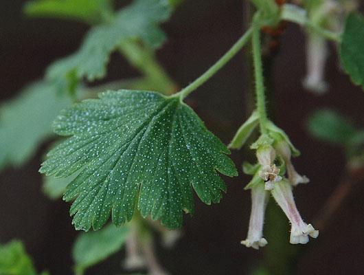 Ribes Cereum Landscape Plants Oregon State University