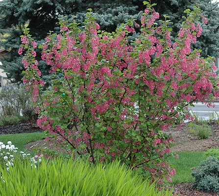Ribes sanguineum landscape plants oregon state university plant habit flowering mightylinksfo
