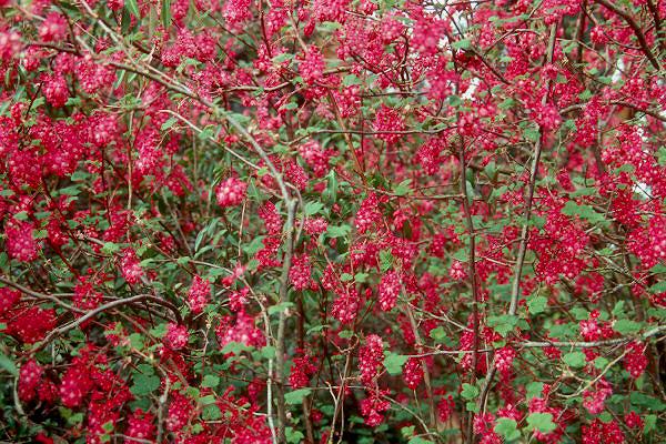 Ribes Sanguineum Elk River Red Landscape Plants