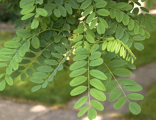 Robinia Pseudoacacia Landscape Plants Oregon State