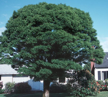 robinia pseudoacacia 39 umbraculifera 39 landscape plants oregon state university. Black Bedroom Furniture Sets. Home Design Ideas