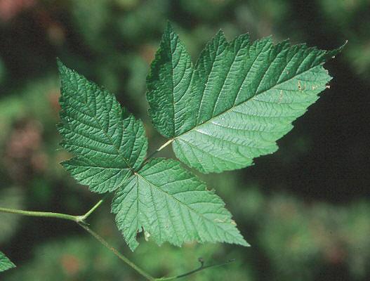 Rubus Spectabilis Landscape Plants Oregon State University