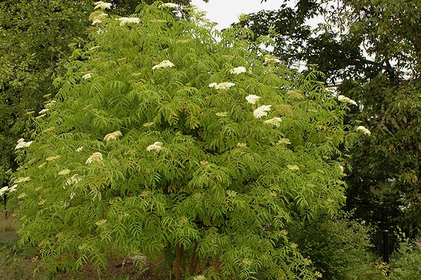 Sambucus Nigra Subsp Cerulea Landscape Plants Oregon