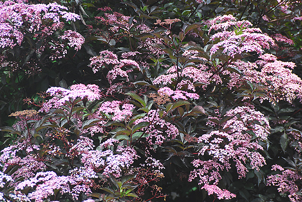 sambucus nigra black beauty landscape plants oregon. Black Bedroom Furniture Sets. Home Design Ideas