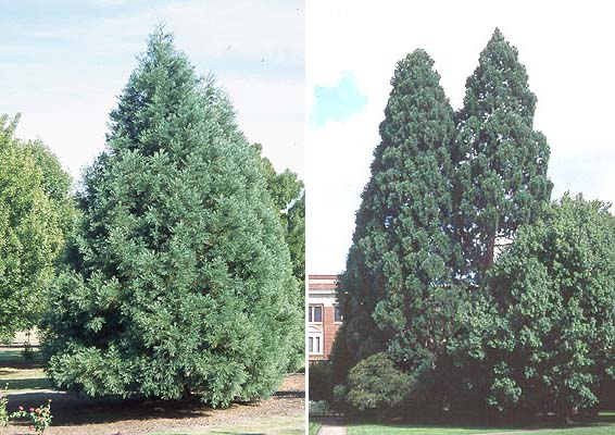 Sequoiadendron giganteum | Landscape Plants | Oregon State University