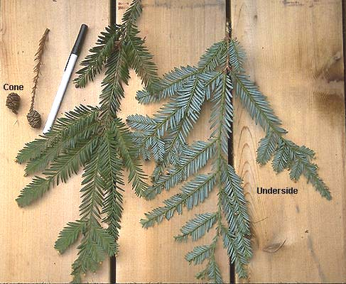 Sequoia sempervirens |...