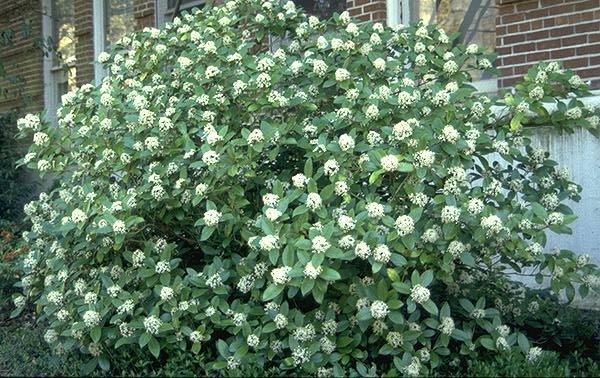 Skimmia Japonica Landscape Plants Oregon State University