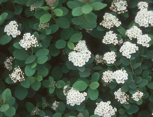 Spiraea Betulifolia Tor Landscape Plants Oregon