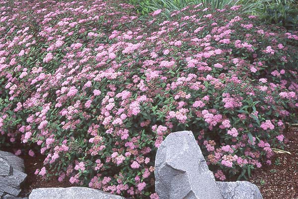 Spiraea Japonica Little Princess Landscape Plants