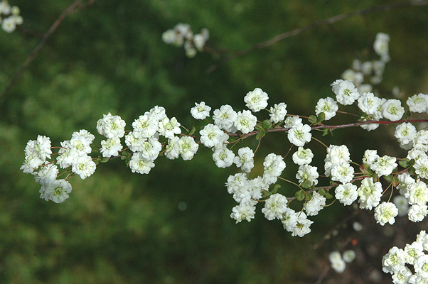 Spiraea Prunifolia Plena Landscape Plants Oregon