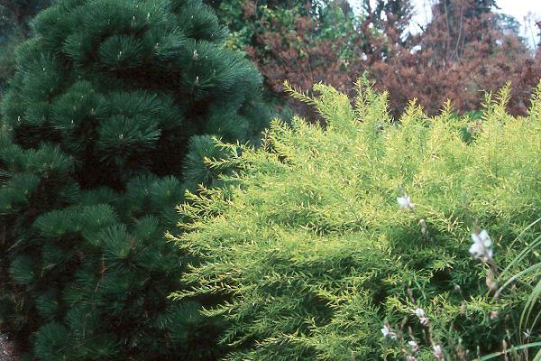Spiraea thunbergii Mellow Yellow™ | Landscape Plants