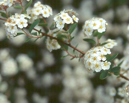 Spiraea 215 Vanhouttei Landscape Plants Oregon State
