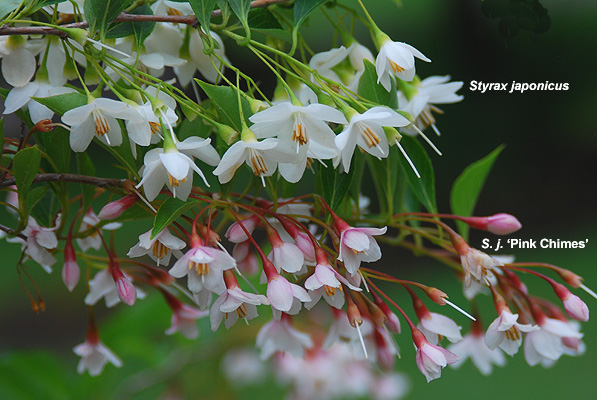 Styrax Japonicus Pink Chimes Landscape Plants Oregon