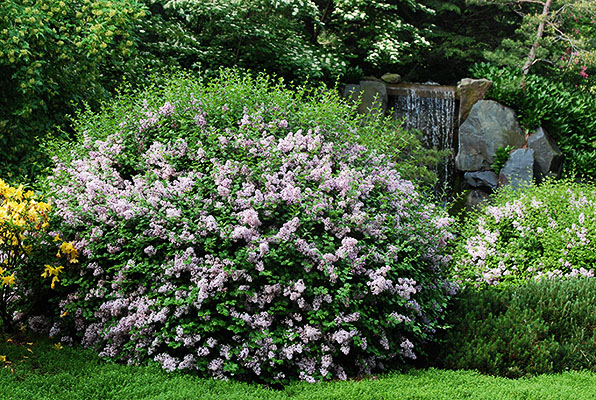 syringa meyeri 39 palibin 39 landscape plants oregon state. Black Bedroom Furniture Sets. Home Design Ideas