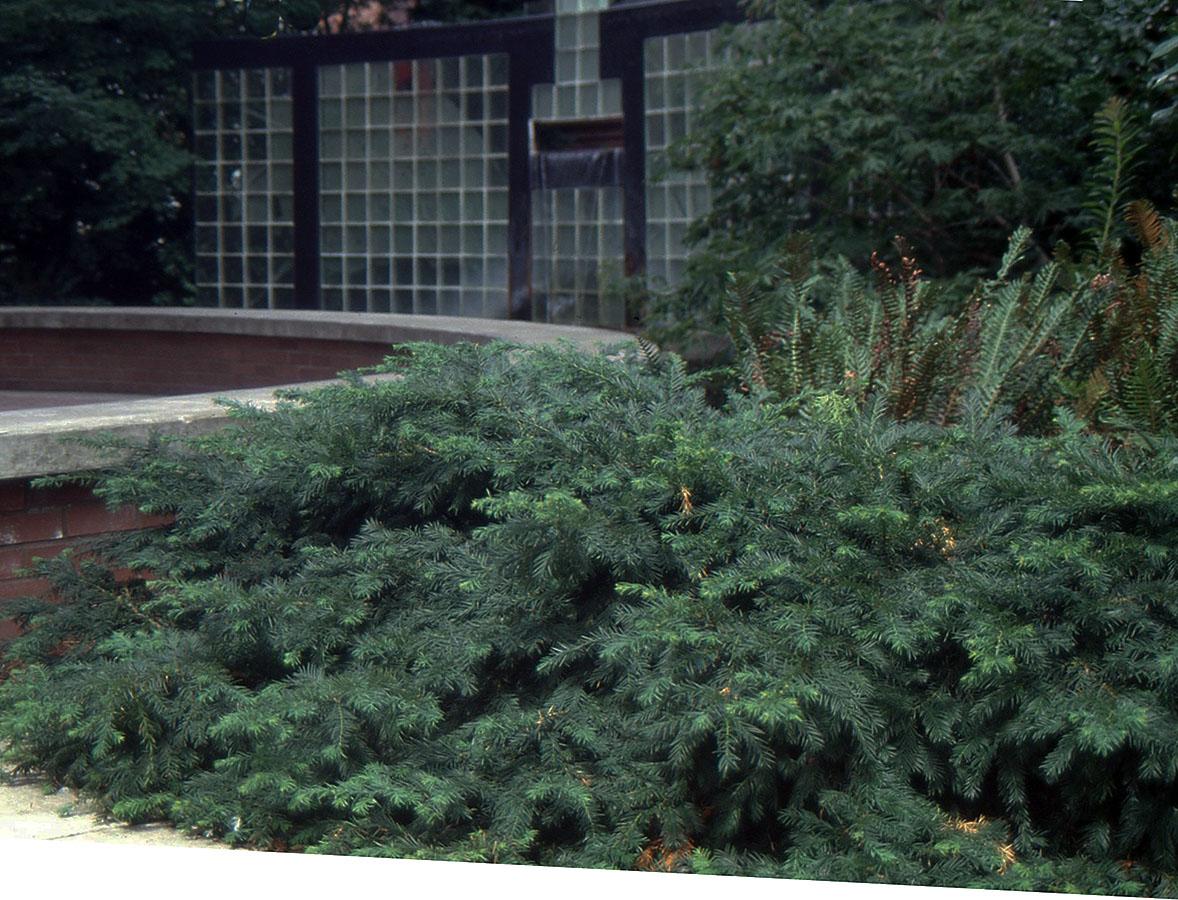 Taxus Baccata Repandens Landscape Plants Oregon State University