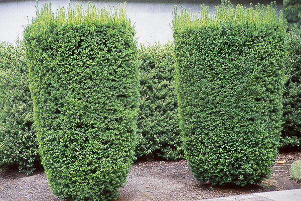 Taxus media 39 hicksii 39 landscape plants oregon state for Garden yew trees