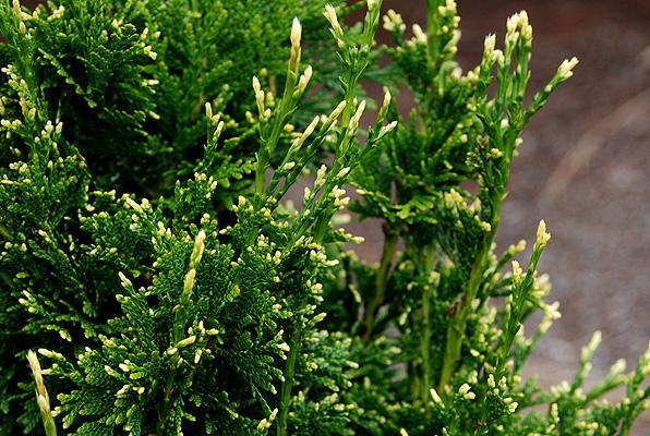 Thuja Plicata Can Can Landscape Plants Oregon State