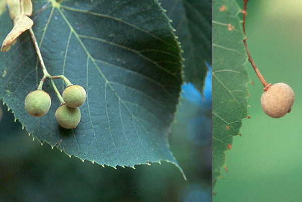 New Jersey University >> Tilia americana | Landscape Plants | Oregon State University