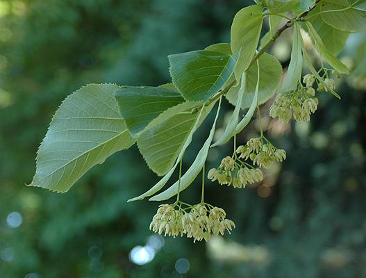 Eastern Tennessee State University >> Tilia americana | Landscape Plants | Oregon State University