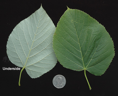 Tilia americana | Landscape Plants | Oregon State University