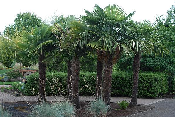 Trachycarpus Fortunei Landscape Plants Oregon State