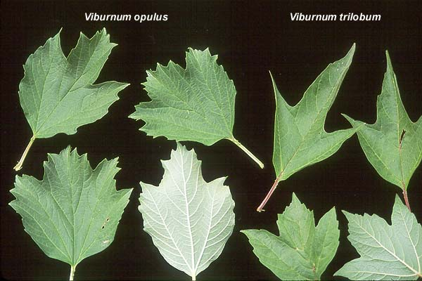 Viburnum Trilobum Landscape Plants Oregon State University