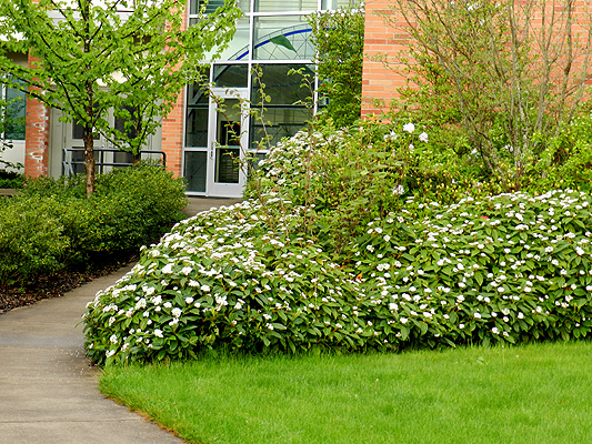 Viburnum davidii | Landscape Plants | Oregon State University - photo #32