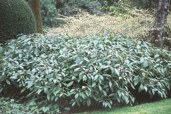 Viburnum Davidii Landscape Plants Oregon State University