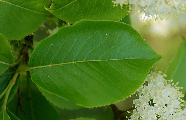 Viburnum Lentago Landscape Plants Oregon State University
