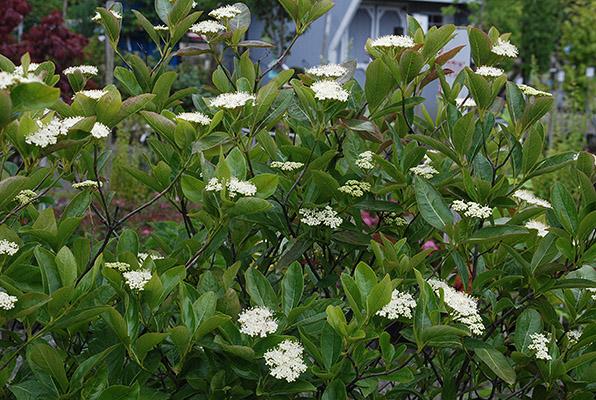 Viburnum nudum 'Winterthur'   Landscape Plants   Oregon ...