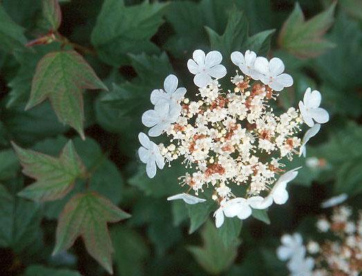 Viburnum Opulus Nanum Landscape Plants Oregon State