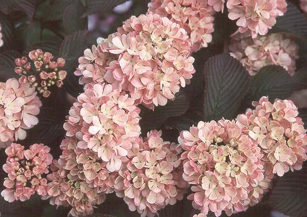 Viburnum plicatum pink sensation landscape plants oregon state flower clusters mightylinksfo