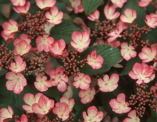 Viburnum plicatum var tomentosum pink beauty landscape plants flowers mightylinksfo
