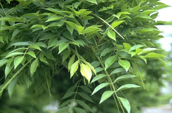Wisteria Sinensis Landscape Plants Oregon State University