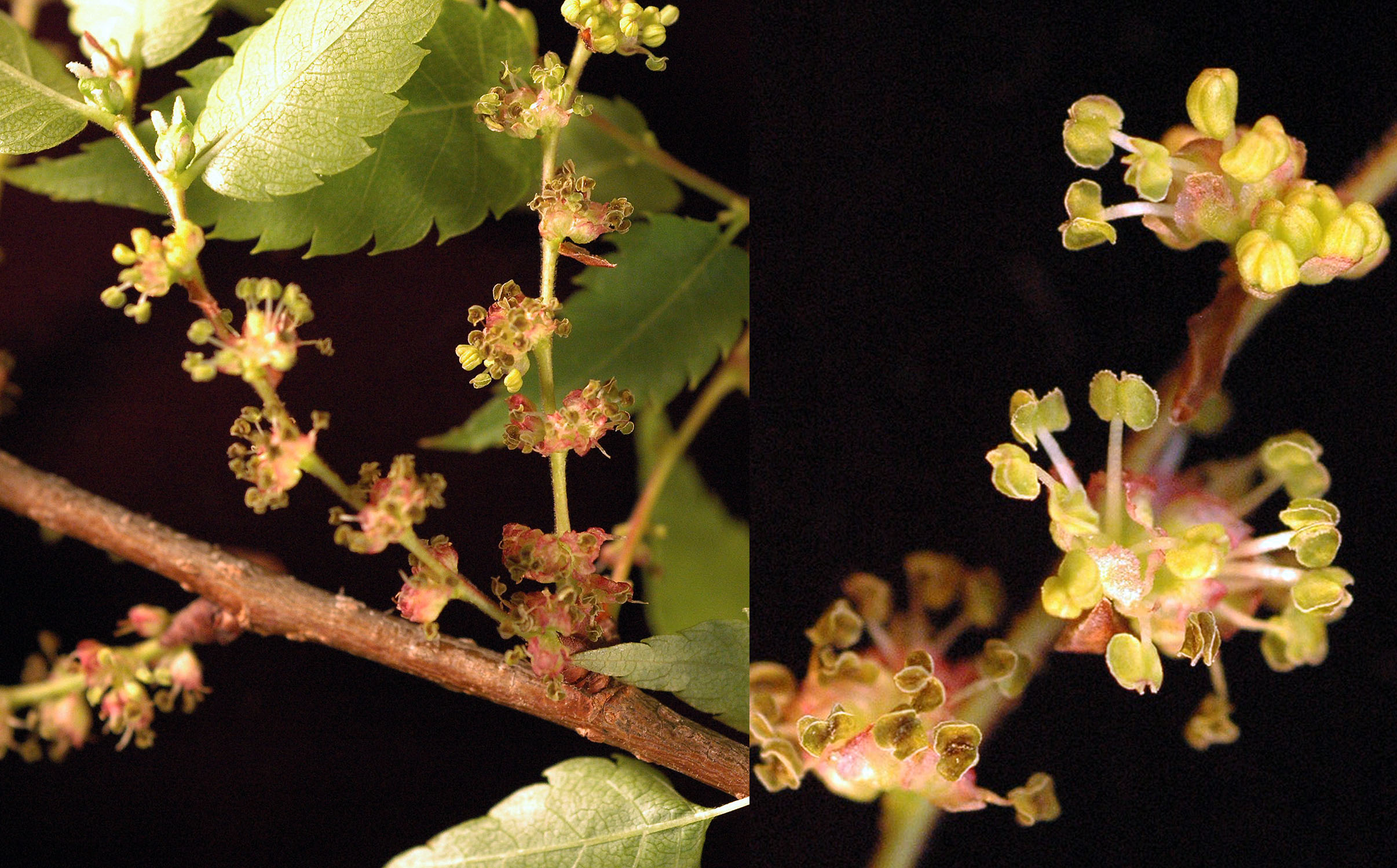 Zelkova Serrata Landscape Plants Oregon State University