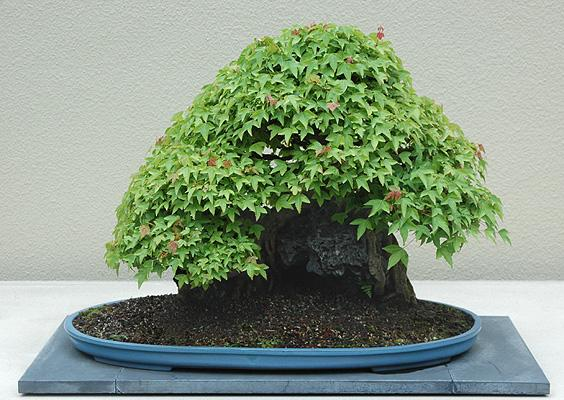 bonsai, summer