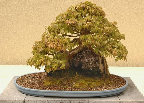 bonsai, spring